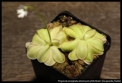 P emarginata whiteflower