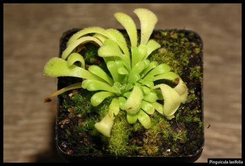 P laxifolia