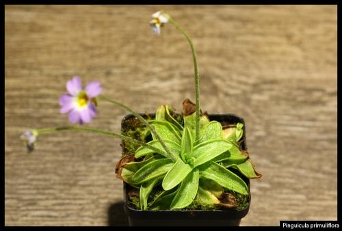 P primuliflora