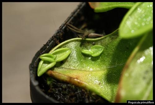 P primuliflora I
