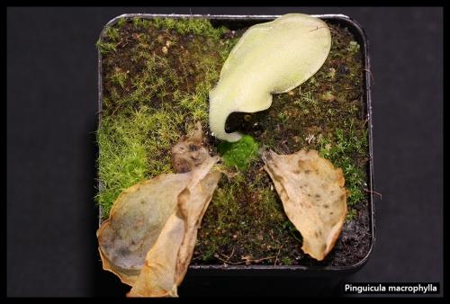 P macrophylla