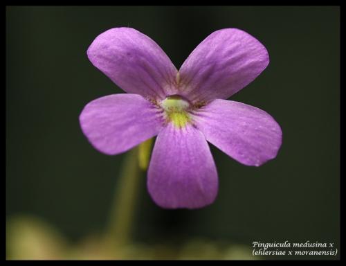 medusina ehlersiae moranensis bl