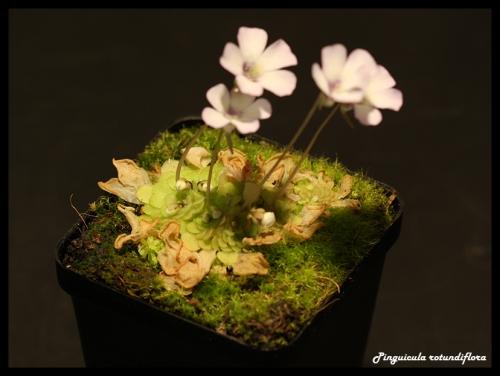 rotundiflora