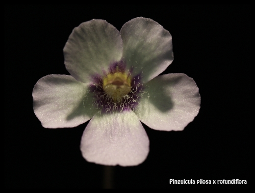 Pilosa x Rotundiflora