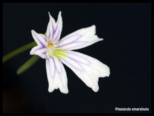 Blüte Emarginata