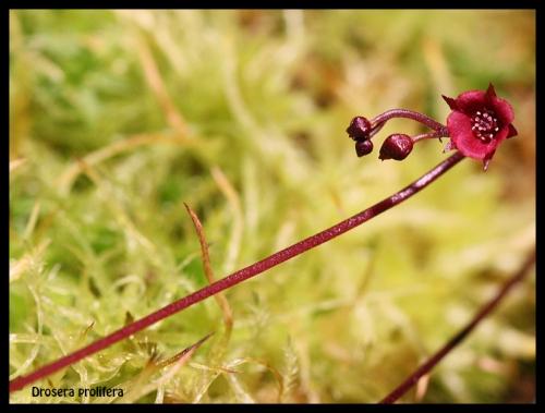 D prolifera Blüte 2