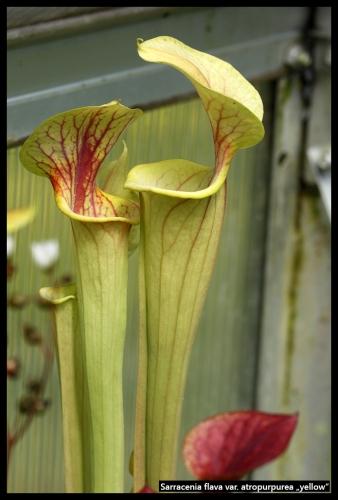 S flava atropurpurea yellow