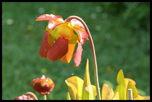 Blüten catesbaei