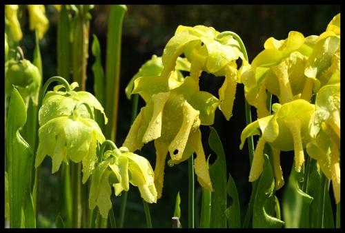 Blüten flava