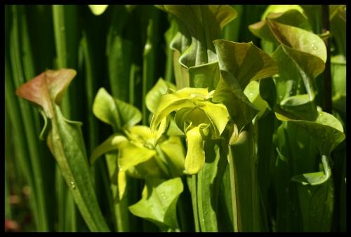Blüten oreophila