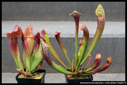 S leucophylla rubra EC