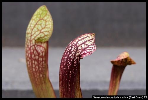 S leucophylla rubra EC II