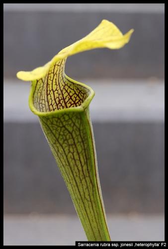 S rubra jonesii heterophylla II