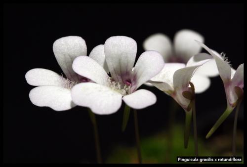 P gracilis rotundiflora Blüten Det