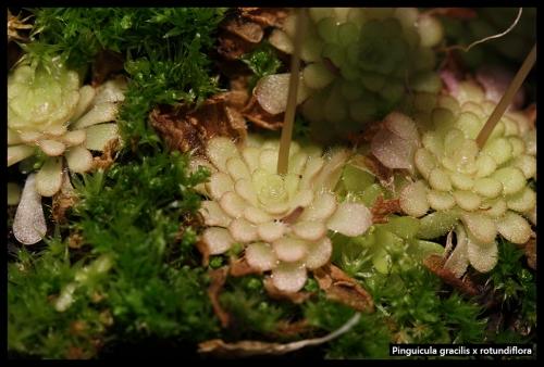 P gracilis rotundiflora Pfl