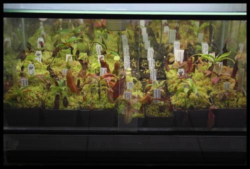 Terrarium Nepenthes