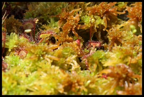 D rotundifolia