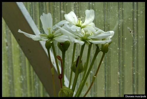 Dionaea Blüten
