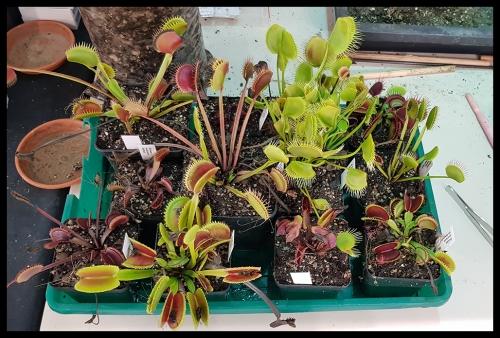 Dionaea Andy