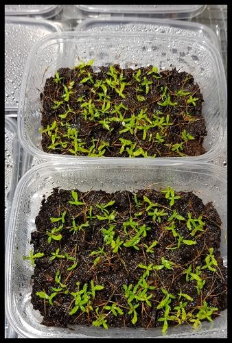 N edwardsiana green seedlings