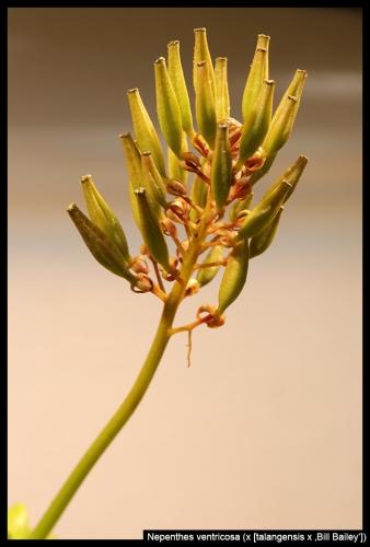 N ventricosa Blüte