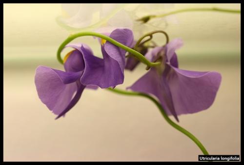 U longifolia