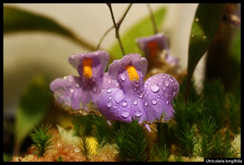 U longifolia III