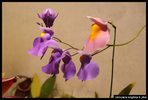 U longifolia Jitka