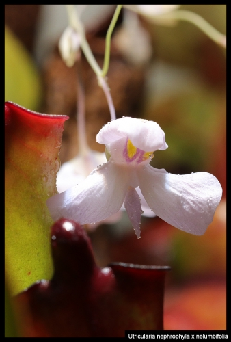 U nephrophyla nelumbifolia