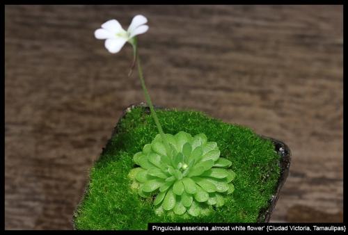 P esseriana whiteflower CiudadVictoria II