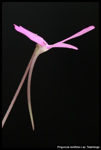 P rectifolia spTolantongo I