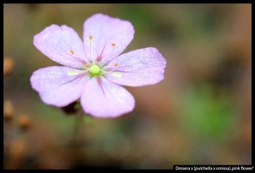 D pulchella omissa pink